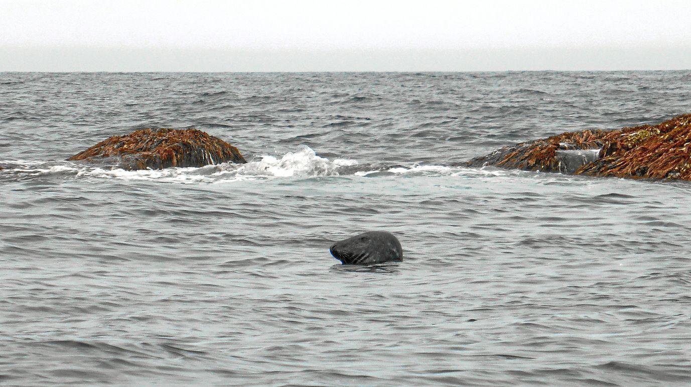 Seehund an der Klippe Okla